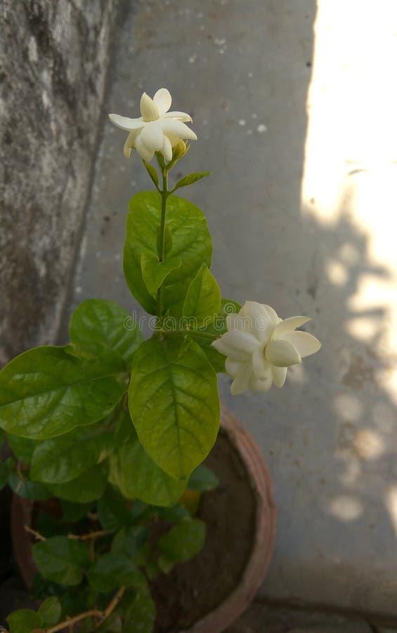 Цветки жасмина в баке стоковая фотография rf
