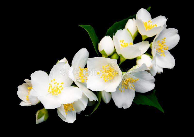 Цветки жасмина на черноте стоковая фотография rf