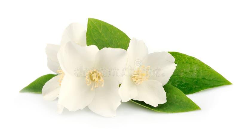 Цветки жасмина стоковое изображение rf