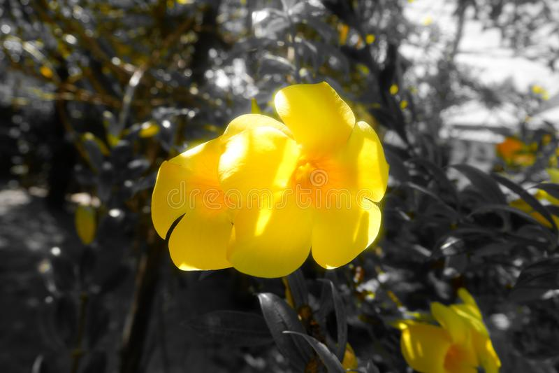 Цветки желтого колокола стоковая фотография