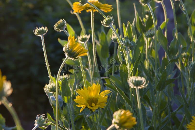 Цветки желтого gaillardia стоковые фотографии rf