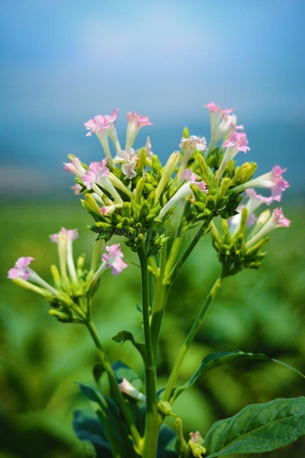 Цветки завода табака стоковые фотографии rf