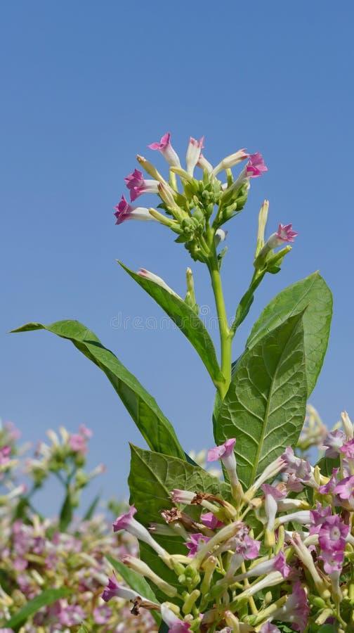 Цветки завода табака стоковое фото rf