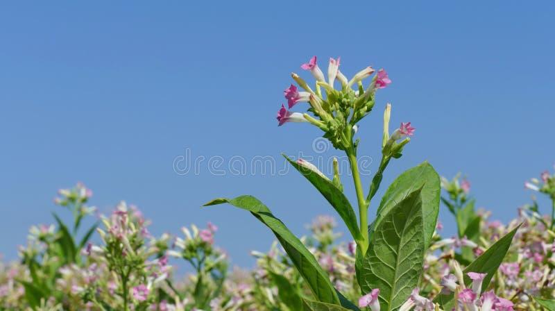 Цветки завода табака стоковая фотография rf