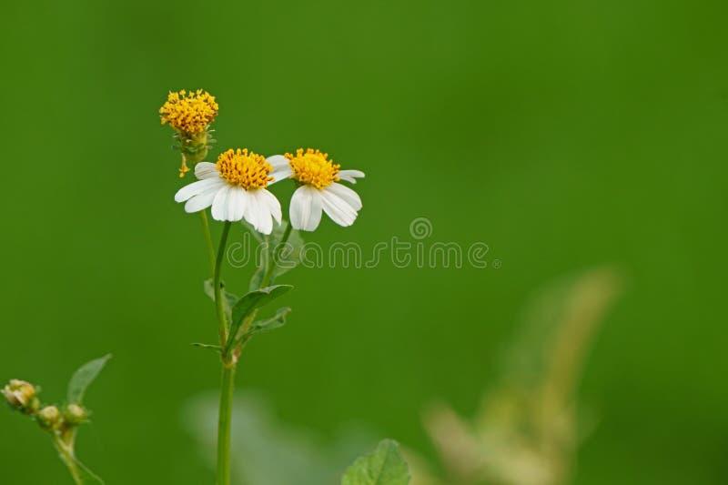 Цветки зацветая на естественной зеленой предпосылке рисовых полей Pilosa Bidens стоковая фотография rf