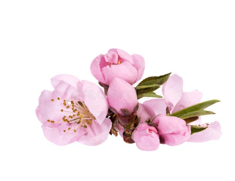 Цветки зацветая цветя персикового дерева, конца вверх стоковое изображение rf