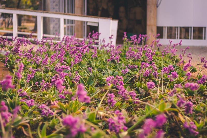 Цветки зацветая Pampulha Flores стоковое фото