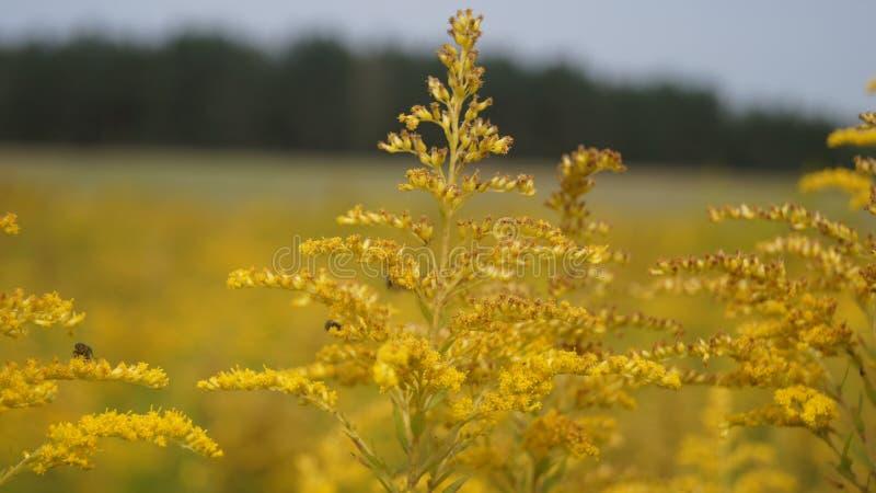 Цветки золота стоковая фотография