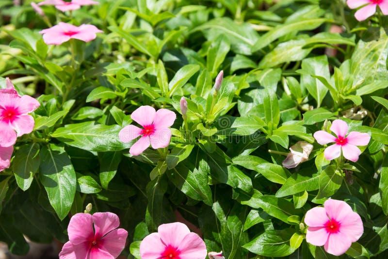 Цветки и бутоны барвинка закрывают вверх стоковое фото rf
