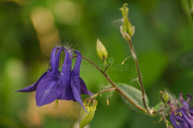 Цветки и бутоны Aquilegia стоковые фотографии rf