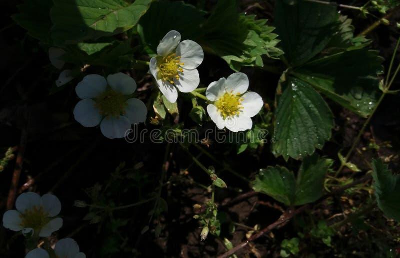 Цветки и воды клубники стоковые изображения