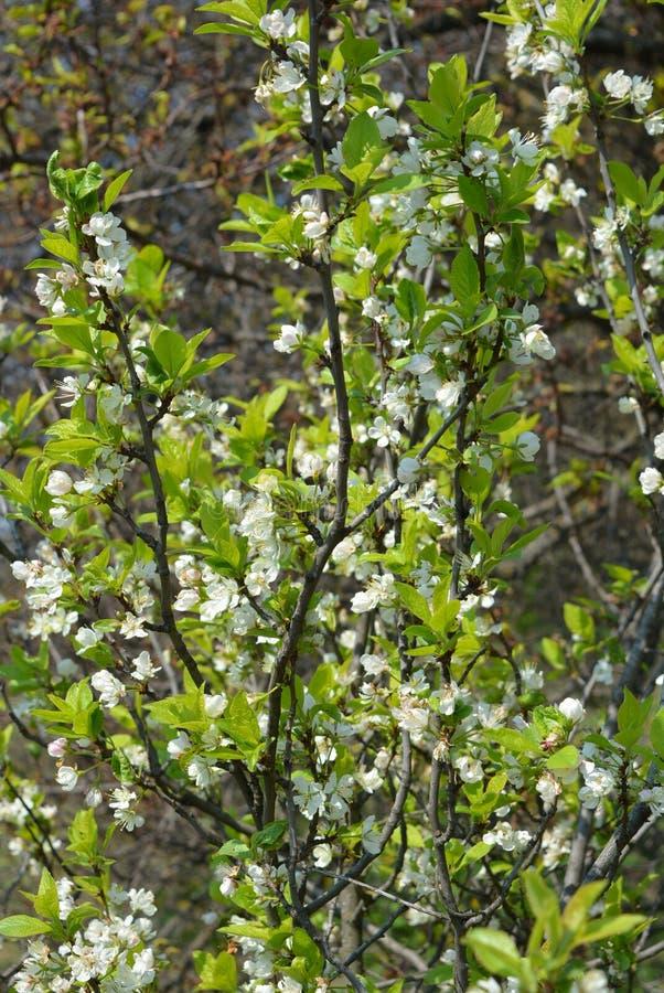 Цветки и деревья весны, цветя вишневые деревья, много белые цветки на ветвях и солнце стволов дерева весной стоковые фотографии rf