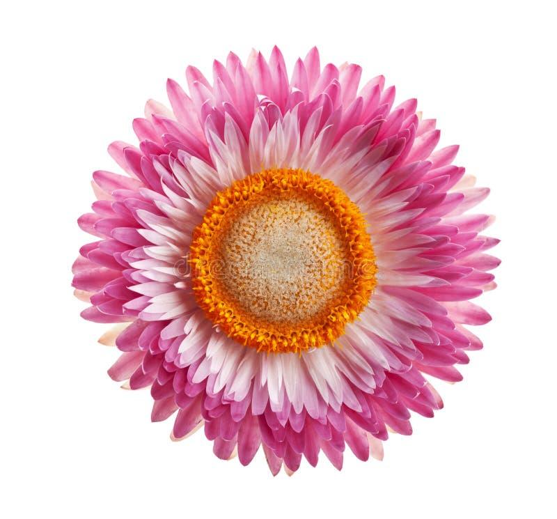 Цветки или immortelle Helichrysum изолированные на белизне стоковые изображения rf