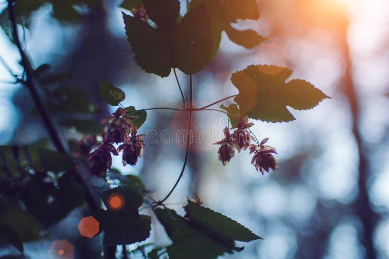 Цветки и листья хмелей закрывают вверх на зеленой предпосылке Закройте вверх минималистских свежих хмелей флористических для пива стоковое фото rf