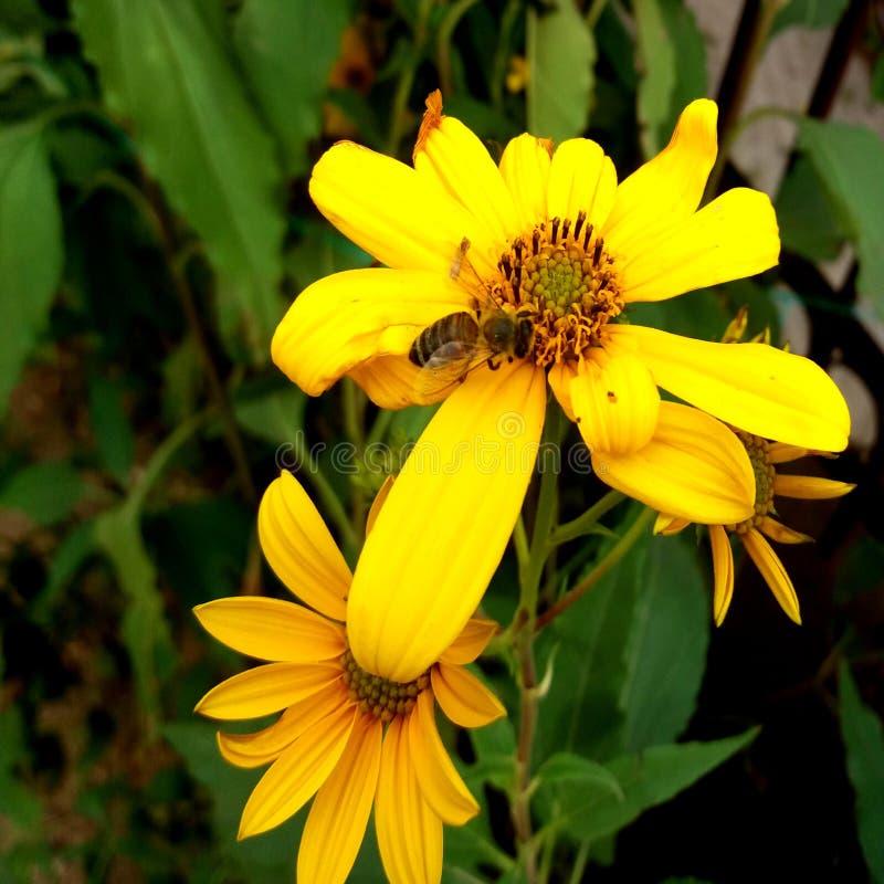цветки и пчелы topinambur стоковые изображения