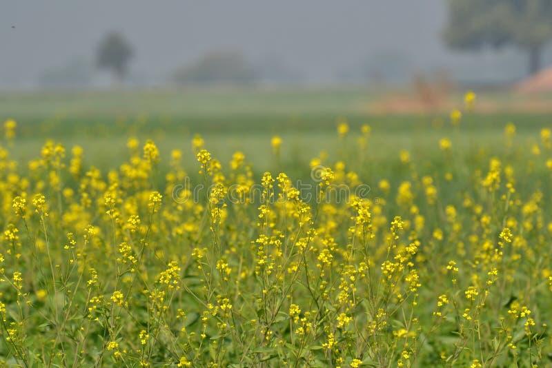 Цветки и урожай мустарда стоковые фото