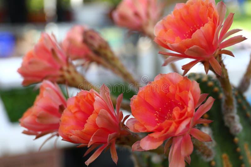 Download Цветки кактуса стоковое фото. изображение насчитывающей листво - 81808696