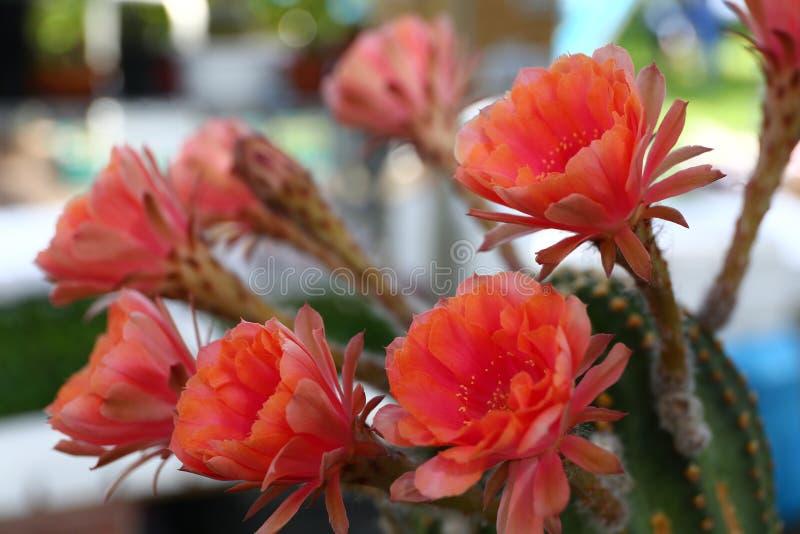 Download Цветки кактуса стоковое фото. изображение насчитывающей красивейшее - 81808968
