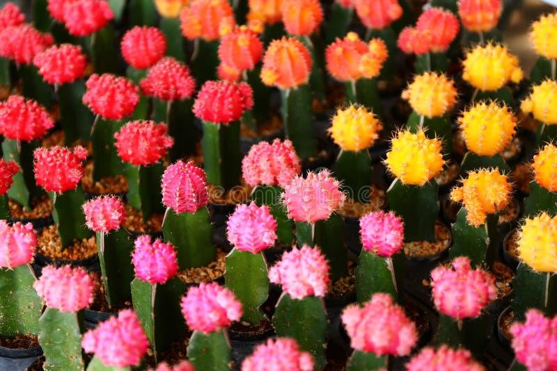 Download Цветки кактуса стоковое изображение. изображение насчитывающей green - 81813753