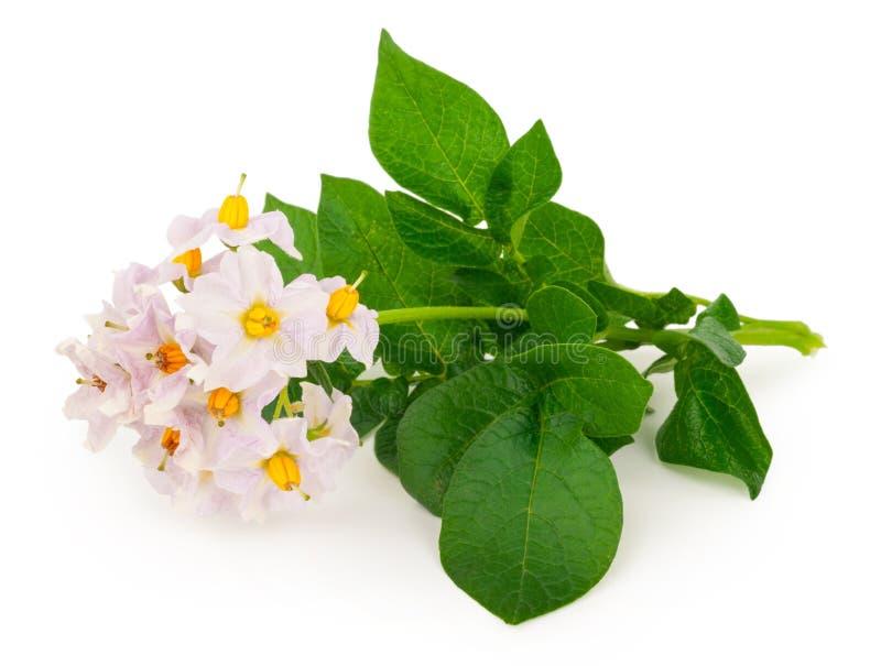 Цветки картошки стоковая фотография