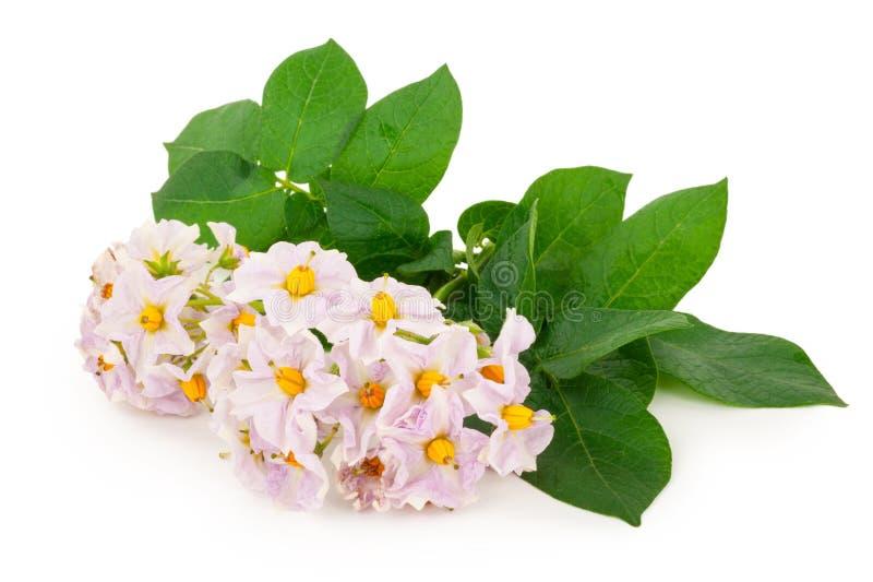 Цветки картошки стоковое фото