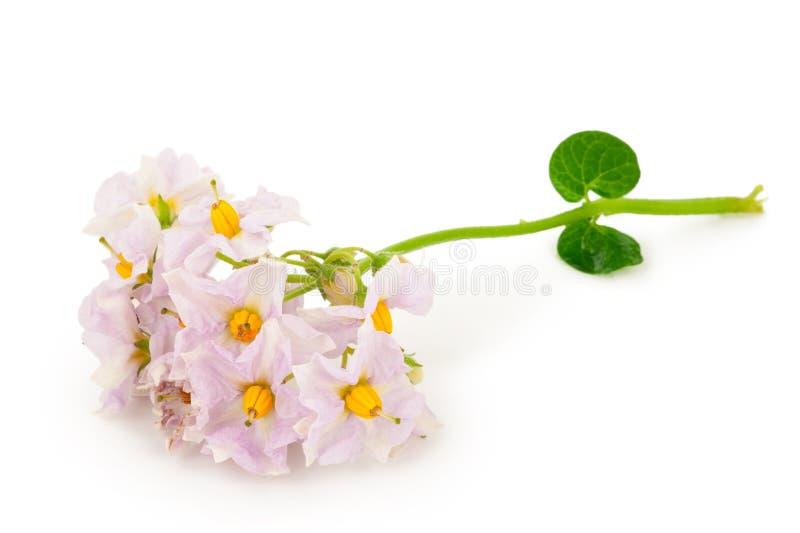 Цветки картошки стоковые фотографии rf