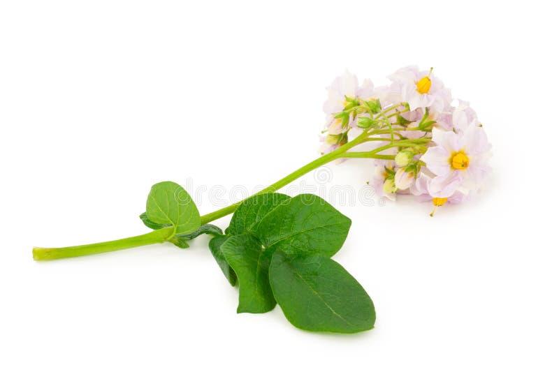 Цветки картошки стоковые изображения rf