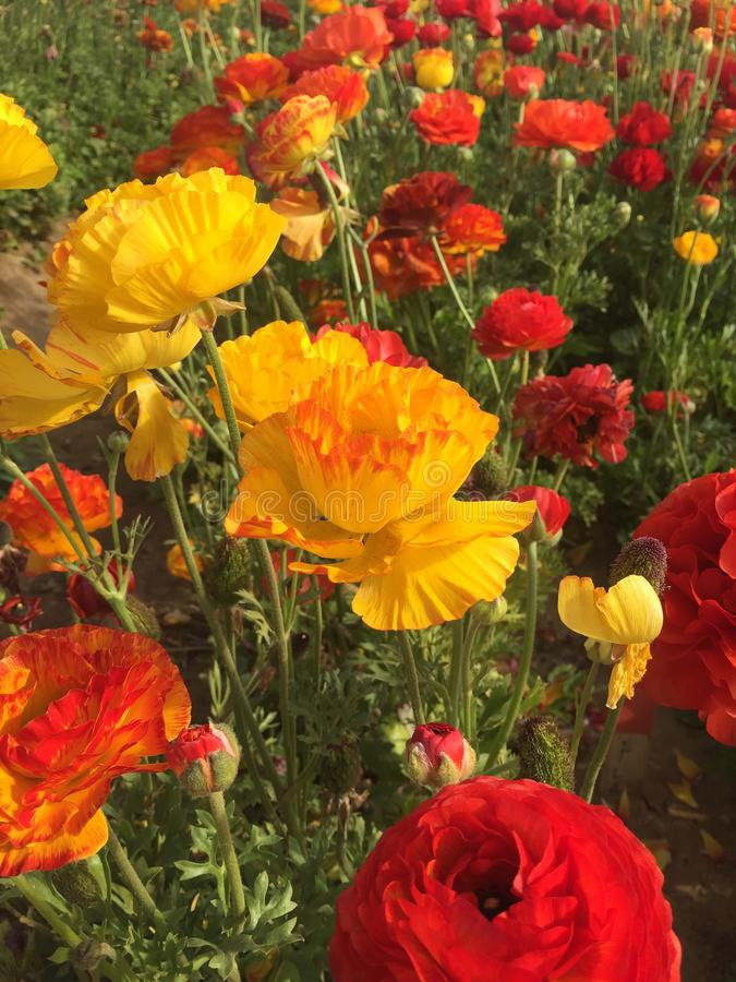 Цветки Карлсбада стоковая фотография