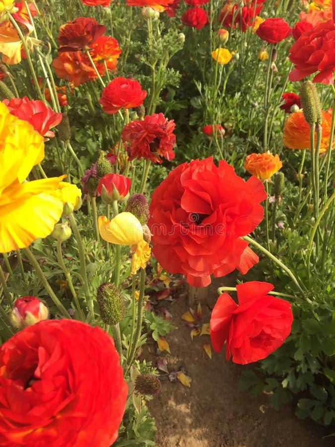 Цветки Карлсбада стоковое изображение