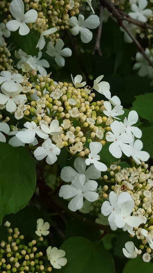 Цветки калины стоковая фотография rf