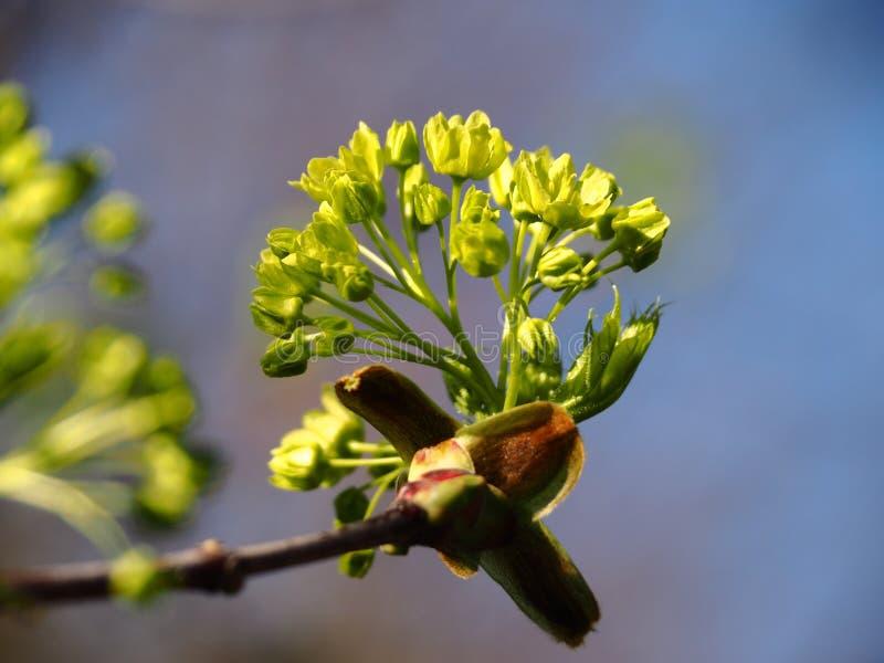 Цветки клена цветут весной стоковые фотографии rf
