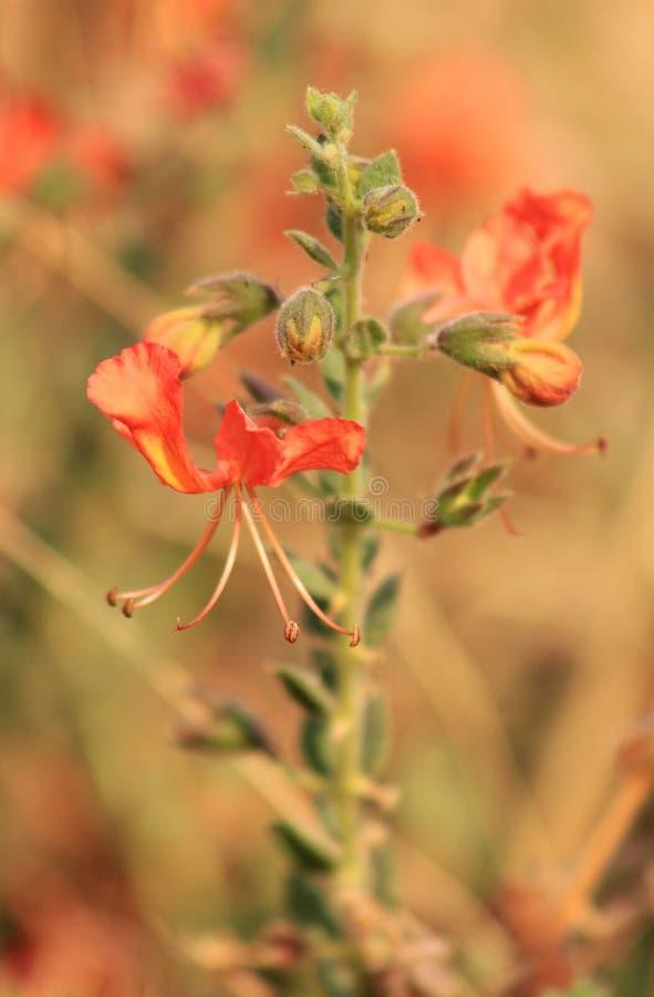 Цветки, коготь кота - поражая Африка стоковое изображение