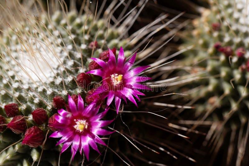 Цветки колючего кактуса pincushion, spinosissima маммиллярии стоковое фото rf