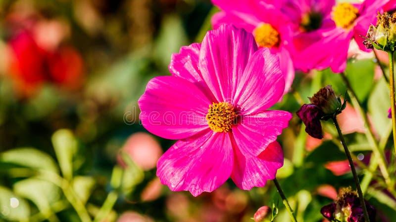 Цветки космоса в зацветать с заходом солнца стоковое фото rf
