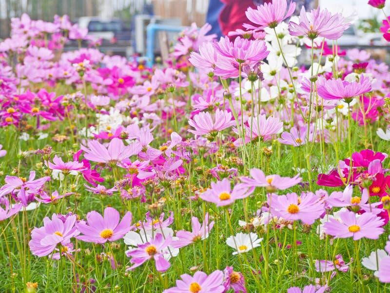 Цветки космоса в любов поля туристской, который нужно увидеть стоковое фото
