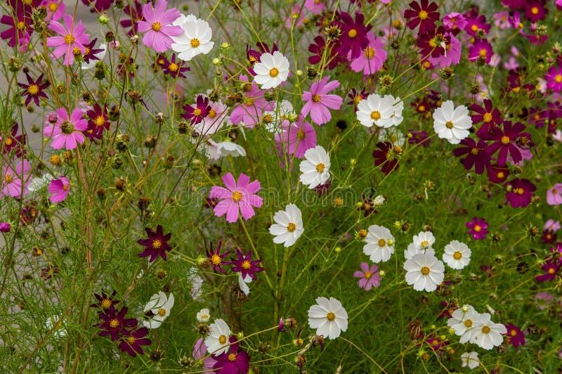 Цветки космоса зацветая в саде стоковые изображения rf