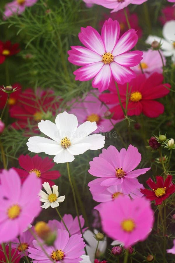 цветки космоса стоковая фотография rf
