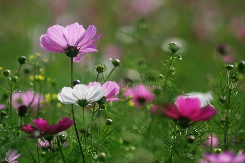 цветки космоса стоковое фото rf