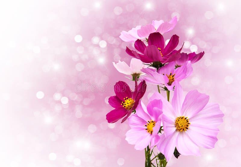 Цветки космоса стоковое фото