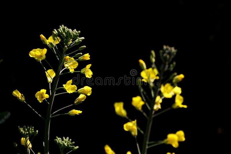 Цветки Коул стоковая фотография