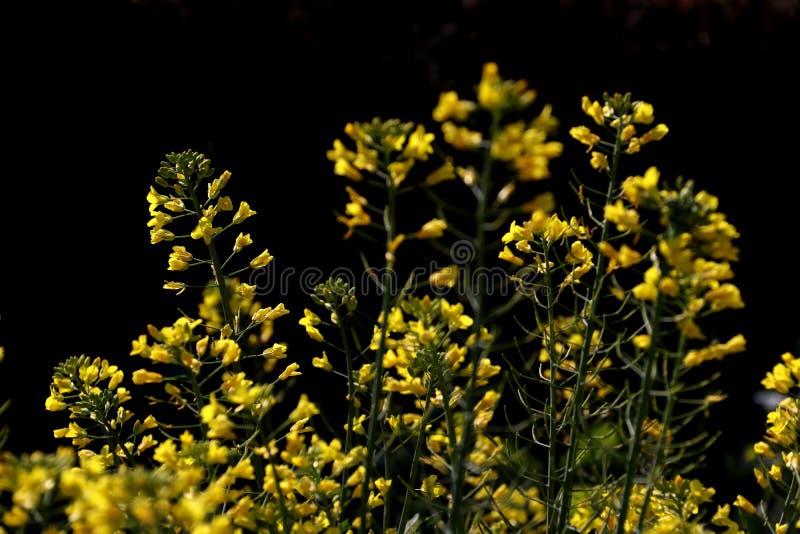Цветки Коул стоковое изображение