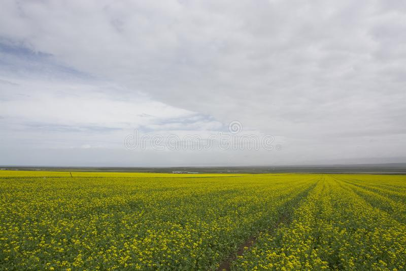 Цветки Коул стоковая фотография rf
