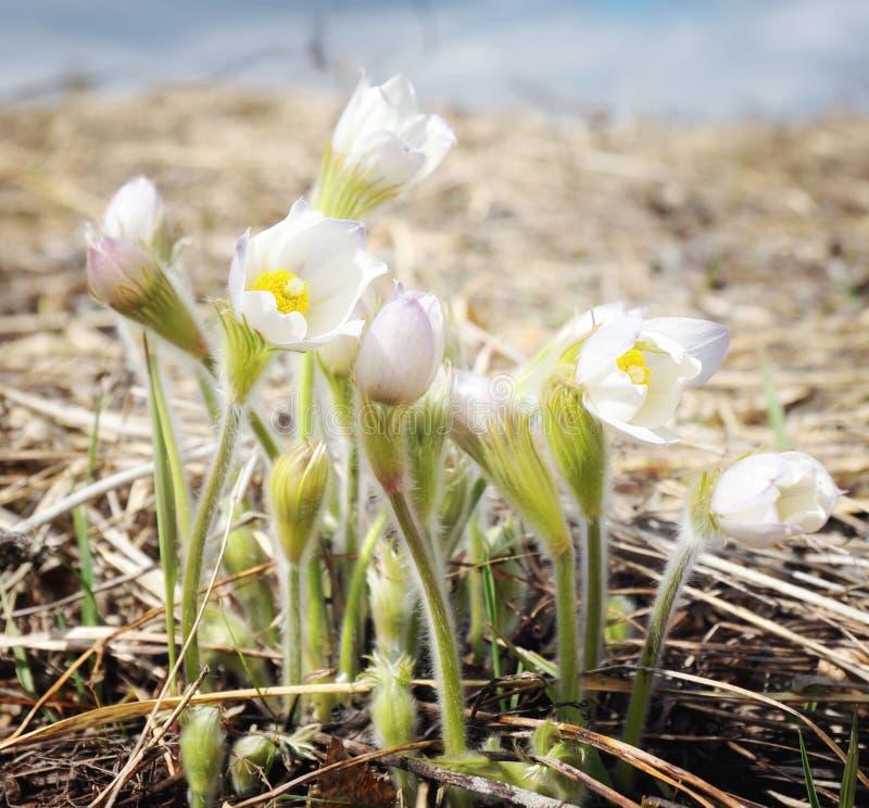 Цветки красивой весны первые белые стоковые изображения