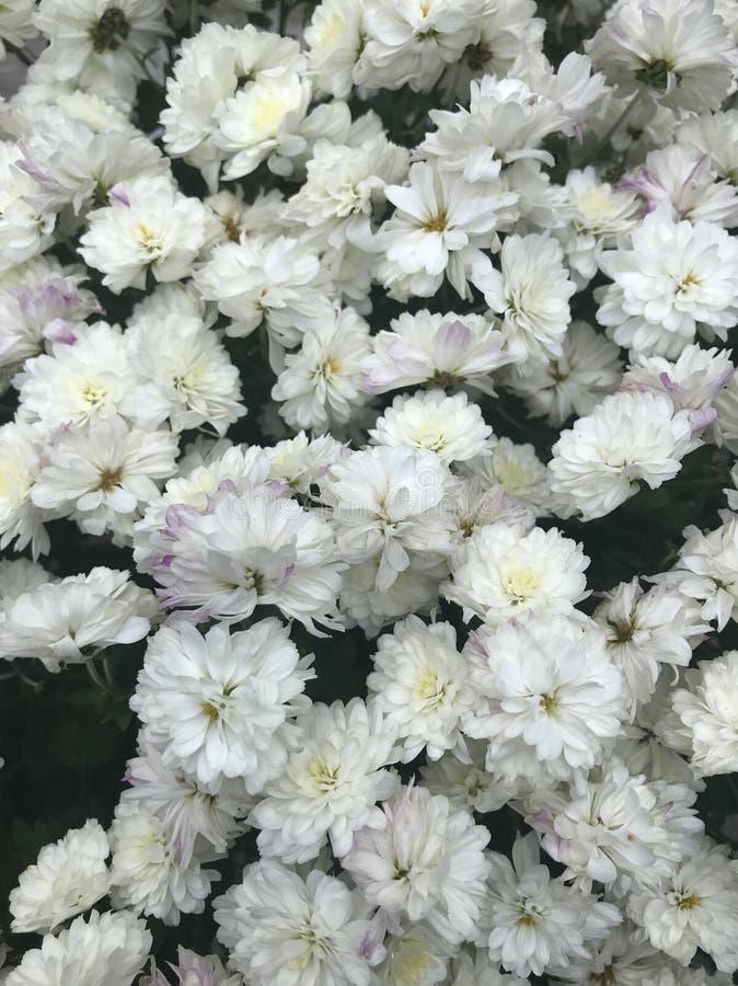 Цветки красивой предпосылки белые стоковое фото rf