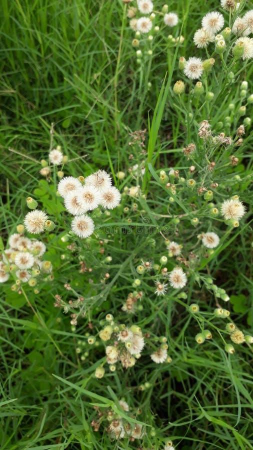 Цветки красивой травы белые стоковые фотографии rf