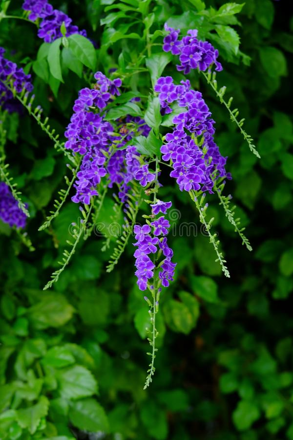 Цветки красивых небольших пурпурных цветков пурпурные с зелеными густолиственными букетами стоковые изображения
