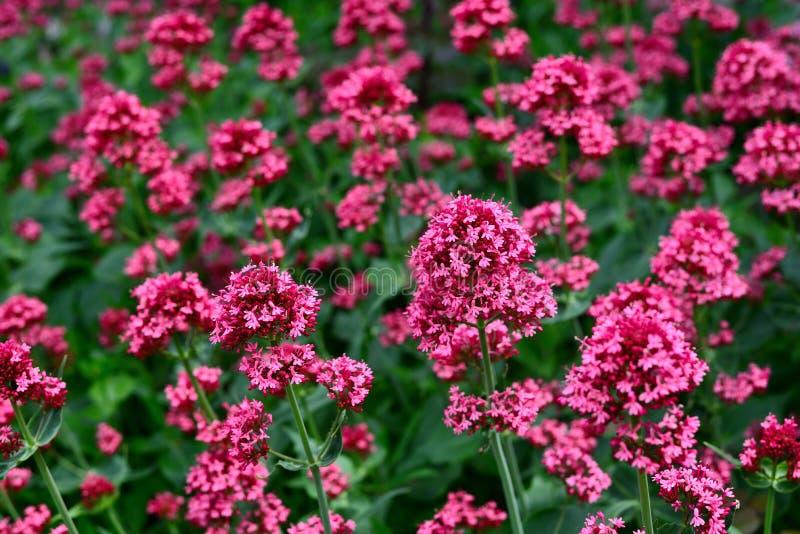 Цветки красного валериана в саде стоковые фотографии rf