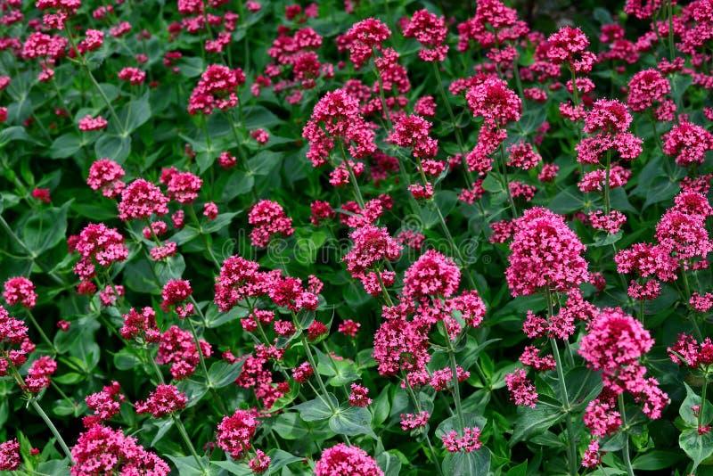 Цветки красного валериана в саде стоковые фото