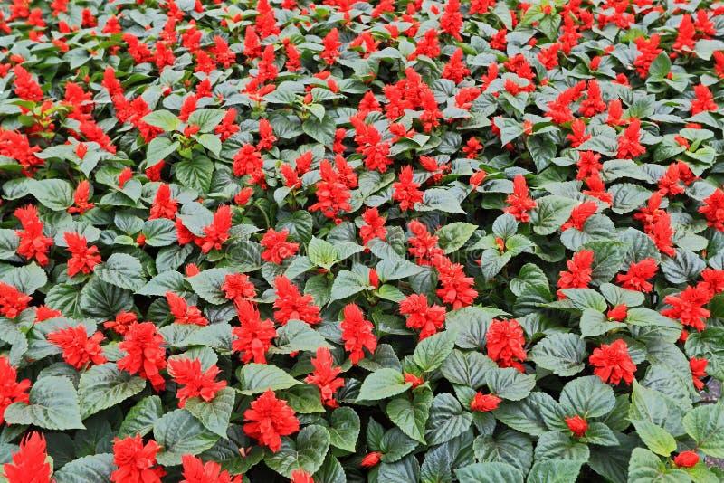 Цветки красного цвета ежегодников стоковые фотографии rf