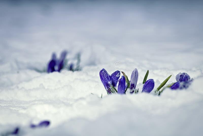 Цветки крокуса предусматриванные в снеге стоковые фотографии rf